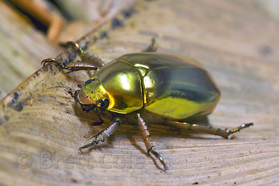 The famous and beautiful Golden Scarab Beetle, highly sought after by collectors, who pay up to $100 for a specimen, Monteverde Cloud Forest, Costa Rica.